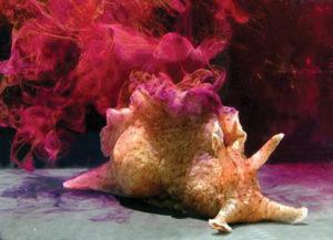 Liebre de mar Aplysia